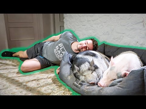 Crazy Vegan Sleeps by Pigs