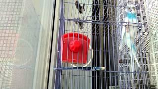 Говорящий волнистый попугай.