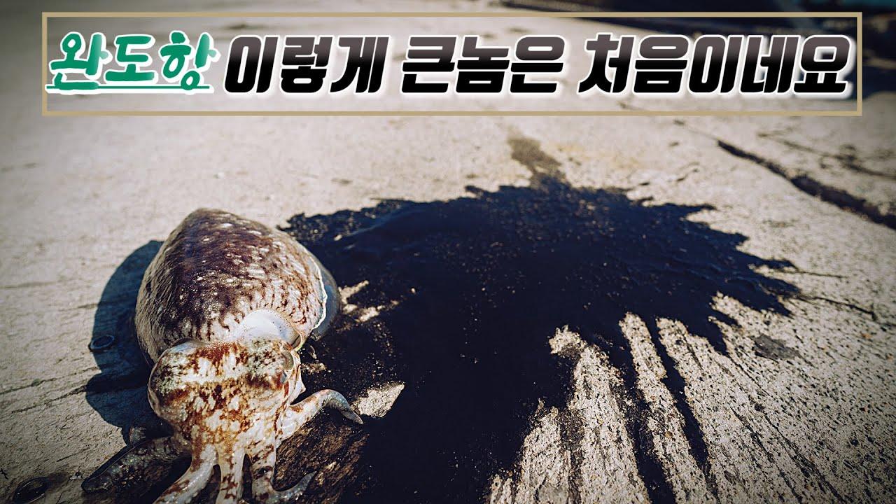 완도항 봄갑오징어 사이즈가 와~~ / 완도항 / 봄갑오징어 /