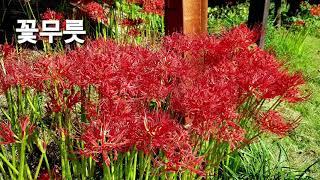 대구수목원 꽃무릇.