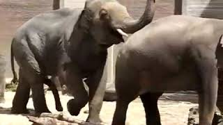 Спаровування слонів