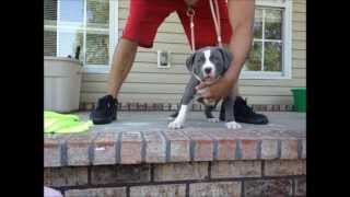 2013 Xl Bully Blue Pitbull Breeding, Manmade Kennels Puppies For Sale, Bulldog Puppies For Sale