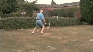 Grey German Shepherd Playing With Pro-dog Intensive Exerciser.