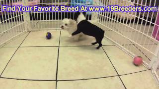 Boston Terrier, Puppies, For, Sale, In, South Bend, Indiana, County, IN, Allen, Hamilton, St  Joseph