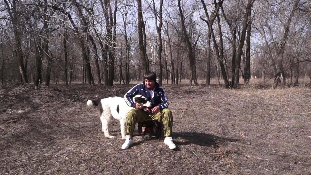 Cреднеазиатская овчарка,САО Алабай - YouTube