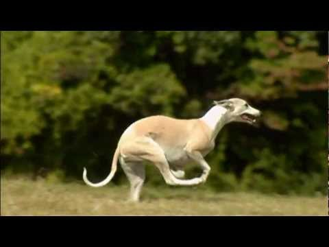 Dogs 101 Whippet.mp4