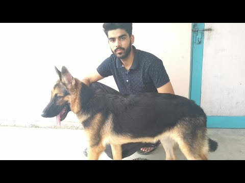 How to check the purity of german shephered  dog or puppy in Hindi.