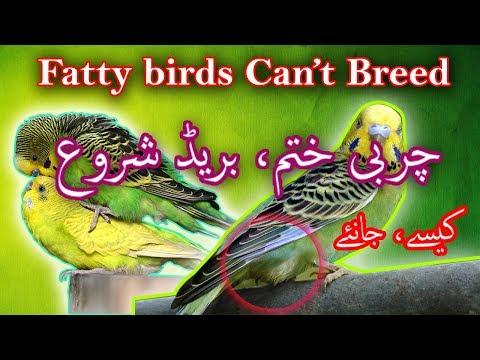 charbi-walay-birds-ki-charbi-kaisay-khatam-karain?-cider-apple-vineger-benefit-for-birds-video-no46