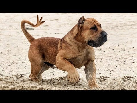 Top 10 Most Muscular Small Dogs