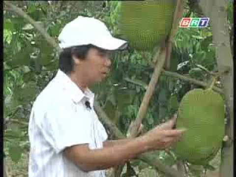 Kỹ thuật trồng mít cao sản .flv