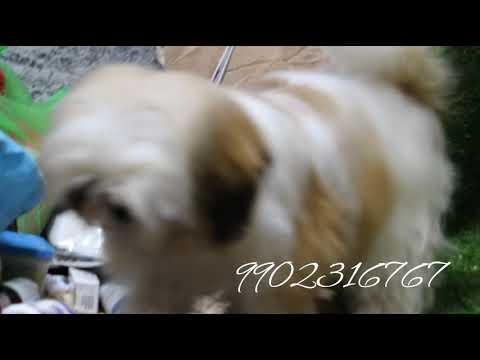 #shihtzu Top Import Shih Tzu Puppies For Sale In Bangalore