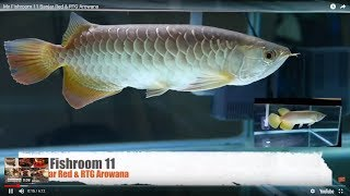 My Fish Room 11  Banjar Red & Rtg Arowana