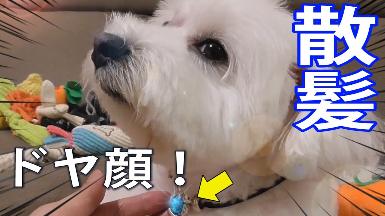 【トリミング】豪華な首飾りを付けてもらってドヤ顔する犬!【トイプードル】