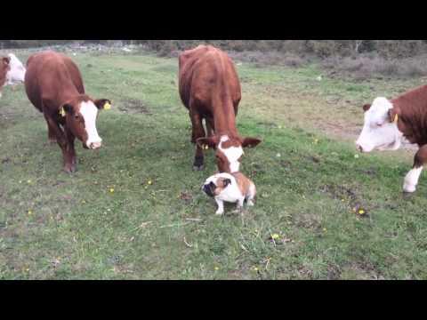 English bulldog vs bull interesting meeting