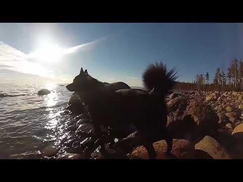Schipperke playing on the beach