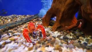 видео Как ухаживать за аквариумными раками?
