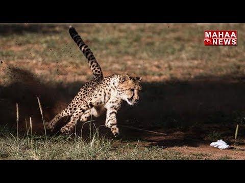 Fear of Cheetah in Guntakal at Anantapur   Mahaa News