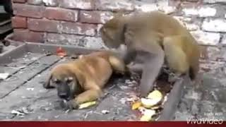 Monkey and dog funny scens