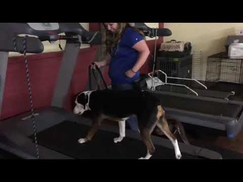 Buliding Confidence in Dogs | Treadmill Training Dogs