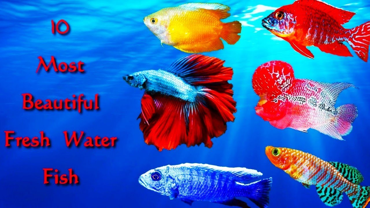 Top 10 most beautiful fresh water fish ||beauty world