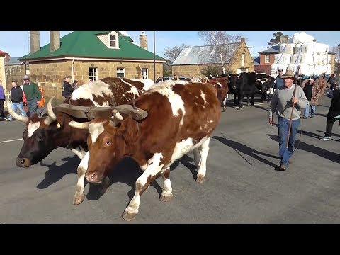 Oatlands Tasmania - Bullocks hauling the local wool clip down High Street