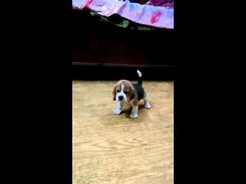 Puppies For Sale On Olx 9899990099 Beagle Pups For Sale In Delhi