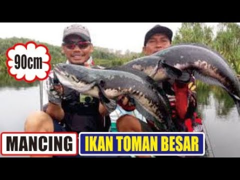 KMMS in action, Toman Sungai Benuh Banyuasin SUMSEL (90cm)