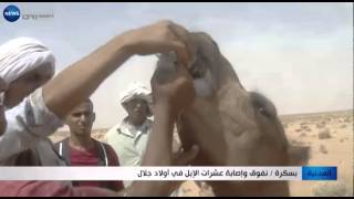 بسكرة: نفوق وإصابة عشرات الابل في أولاد جلال