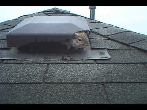Squirrel In Pickerig Attic Chewed Right In Through Roof