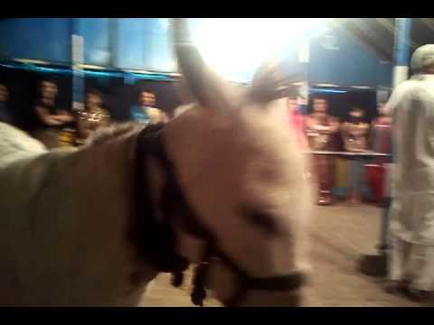Amazing Video of Donkey Pannalal-Hindi