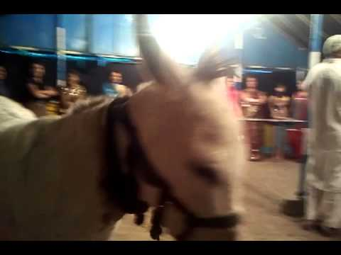 Amazing Video of Donkey Pannalal-Hindi