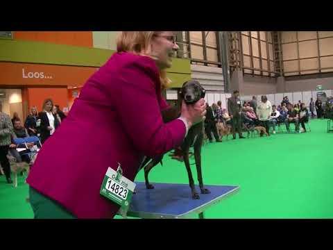 Italian Greyhounds Crufts 2018 c