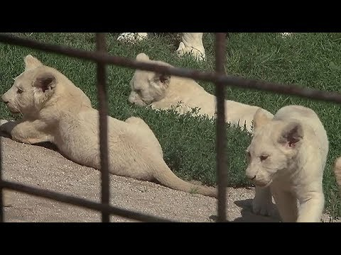 Rare white lion quintuplets born in Czech zoo