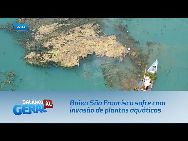 Baixo São Francisco sofre com invasão de plantas aquáticas