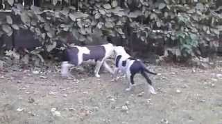 Szczeniaki Amstaff Z Cairn Terrier I Jack Russell Terrier - Terierkowo 23.08.2015 - Part 1
