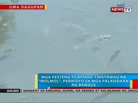 """BP: Mga pesteng tilapiang tinatawag na """"molmol"""", perwisyo sa mga palaisdaan ng bangus sa Pangasinan"""