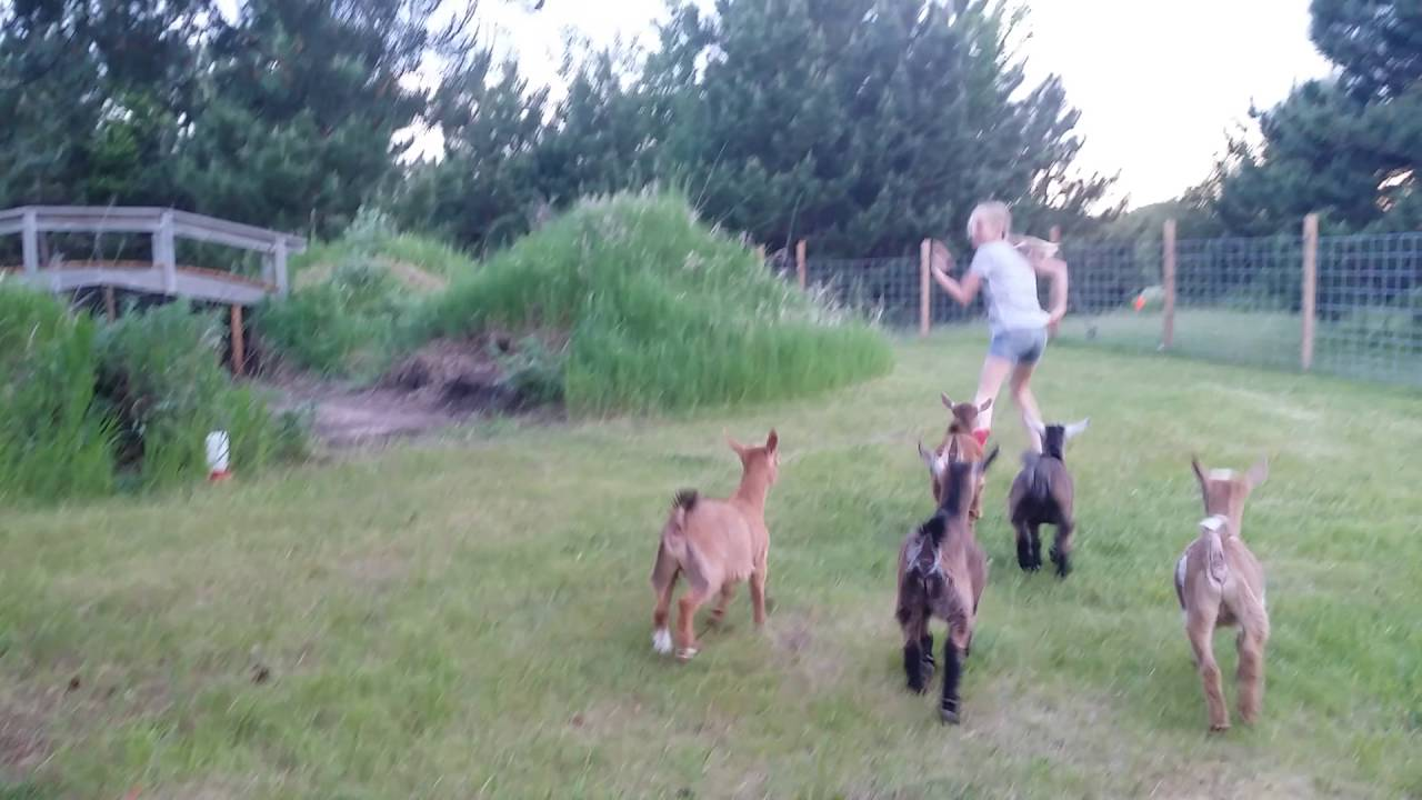 Baby Goats Jumping and Playing - YouTube |Baby Goats Playing Youtube