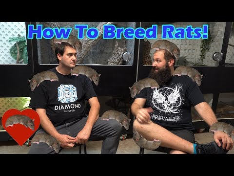 How To Breed Rats - Exclusive Expert Advice Forrest Fanning!