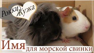 Имя для морской свинки. Guinea pig. Морские свинки.