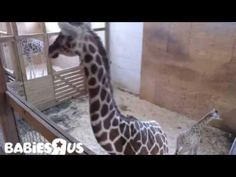 Giraffe | Animal Adventure Park Giraffe Cam - April the giraffe Live Stream Youtube Update 4/21/2017