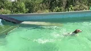 プールに飛び込むクアトロの3連チャン 最後はチャッピーの可愛い泳ぎ.