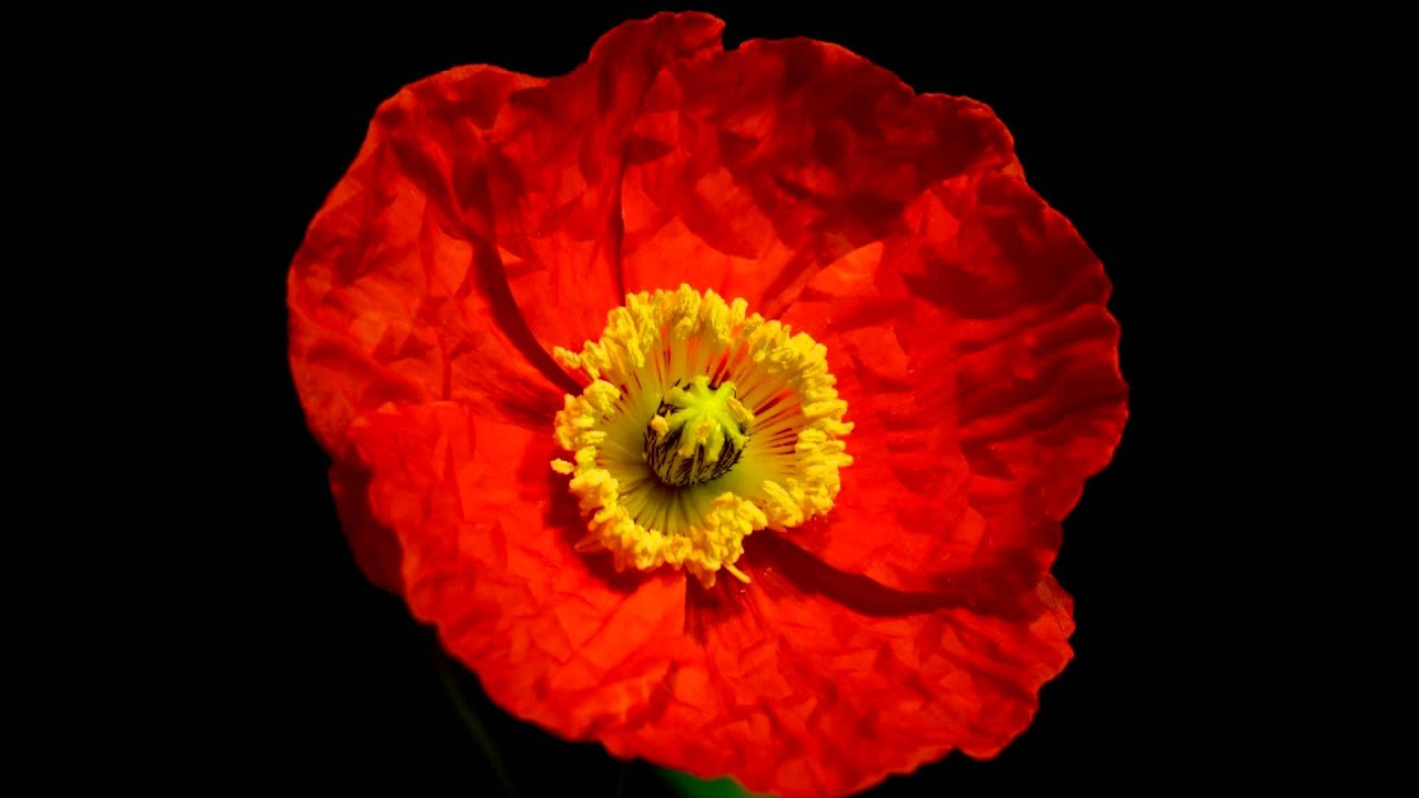 Orange poppies blooming timelapse youtube dhlflorist Images
