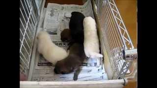 10日目の5匹の赤ちゃんは母犬が外に出るとあわてて探します。