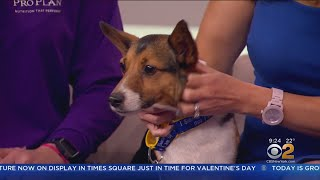 Westminster Dog Show Comes To Town
