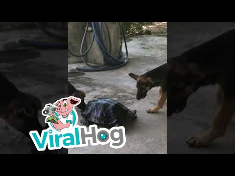 Turtle Takes on Two Dogs || ViralHog