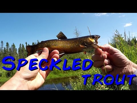 Brook Fishing For Speckled Trout New Brunswick Canada-2019