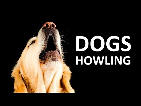 dogs-howling-to-make-your-dog-howl-hd-sound-effect