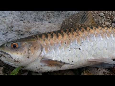 Chocolate Mahseer Fishing, Vlog  14October 2020,
