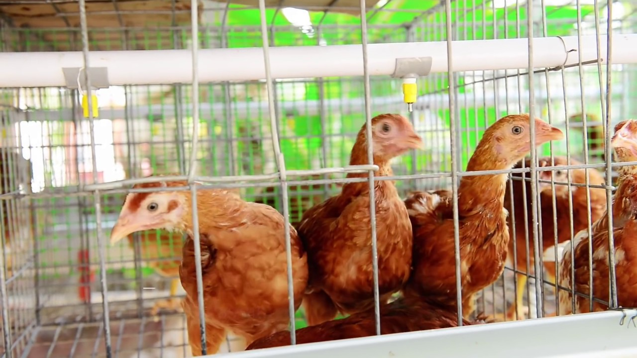 Smart Micro Poultry Cages System Hi Tech Micro Hen Farm