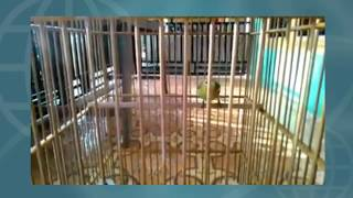 Suara Gacor burung sirtu - isian cucak ijo Mp3